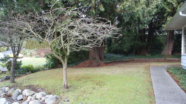 Backyard Pear Tree